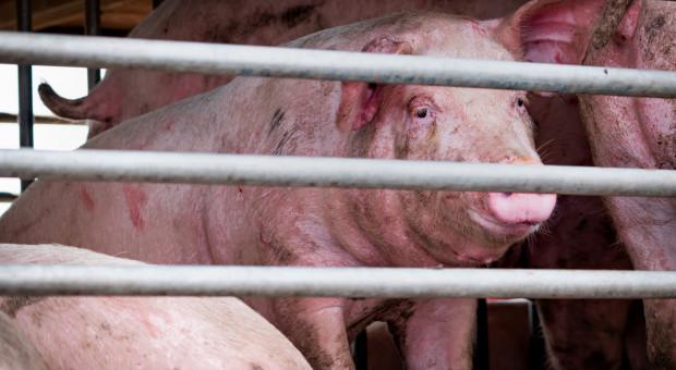 Ile świń z Niemiec wjeżdża do Polski?