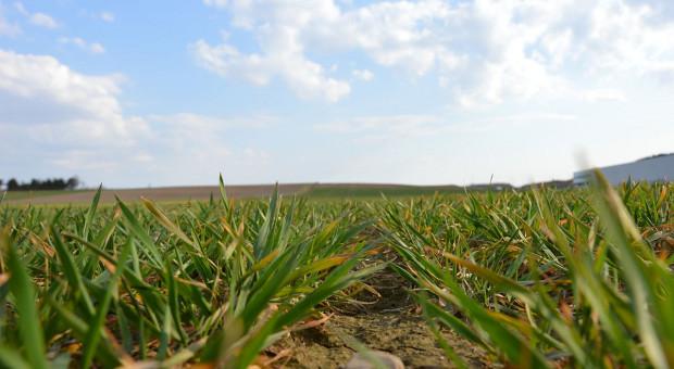 Żółknięcie plantacji zbóż