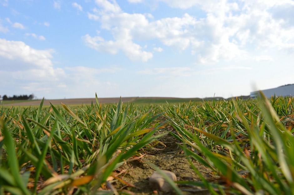 Żółknięcie plantacji zbóż na wiosnę z powodu niedożywiona roślin azotem; Fot. Katarzyna Szulc