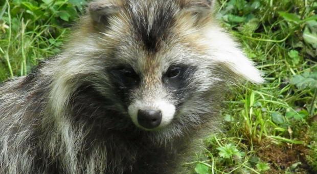 Co MRiRW wie o hodowli zwierząt futerkowych w Polsce?