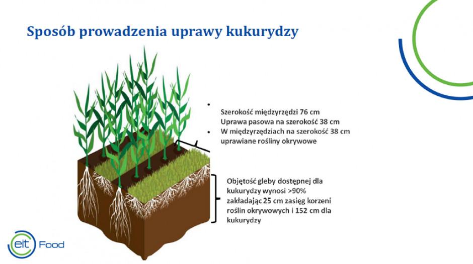Uprawa współrzędna kukurydzy z wieloletnią rośliną okrywową zapewnia pokrycie gleby, co znacznie ogranicza jej erozję. Źródło: S. Świtek.