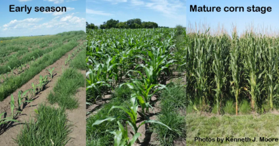 Rośliny okrywowe poprawiają stan gleby bez zmniejszania plonów kukurydzy. Źródło: Moore.