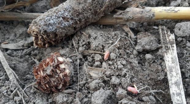 Pszenica ozima siana po kukurydzy