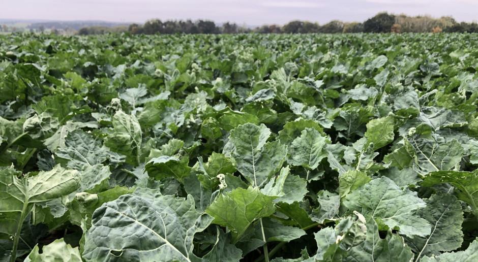 Rzepak ozimy 18BBCH rośliny zdrowe.Jaki stan upraw rzepaku ozimego? Fot. Dawid Chwirot
