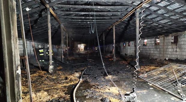 Pożar na fermie drobiu, spłonęły perliczki