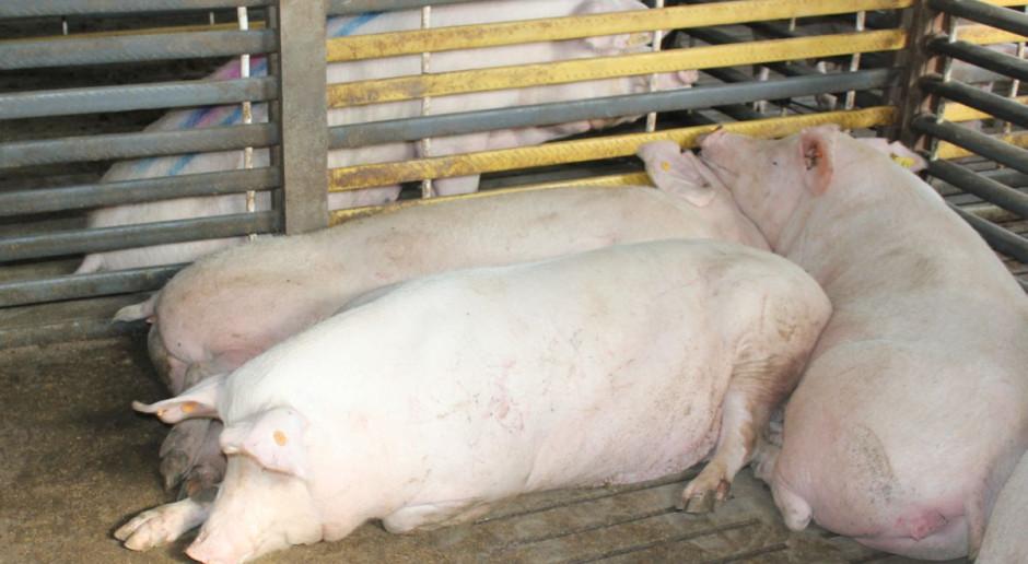 Jak duża będzie redukcja pogłowia świń?