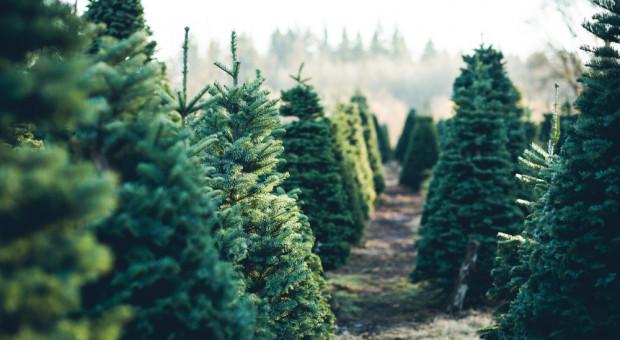 Podlascy leśnicy zachęcają do kupienia choinki na święta prosto z plantacji
