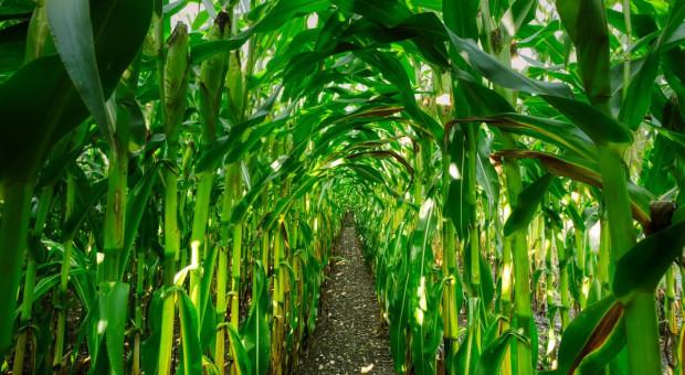 Najlepsze odmiany kukurydzy kiszonkowej w 2020 r.