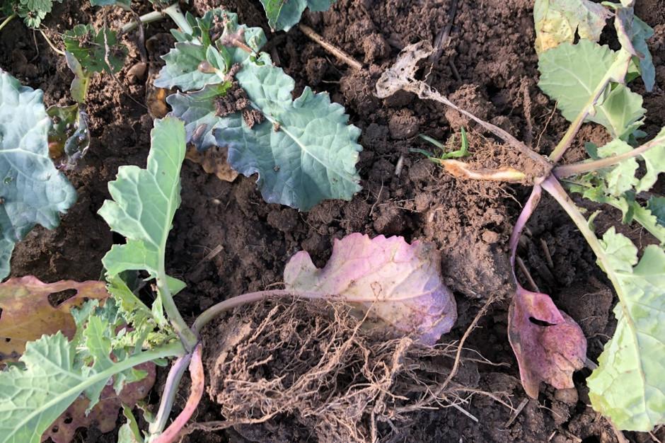 Widoczne przebarwienia liści rzepaku może oznaczać porażenie śmietką. Fot. Dawid Chwirot