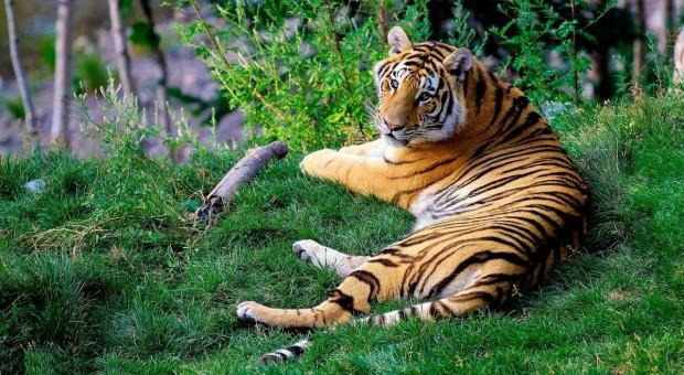 Tygrys z hodowli odgryzł rękę kobiecie