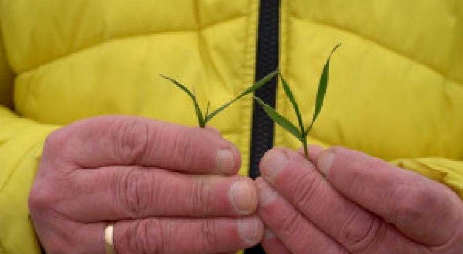 Słabe zaawansowanie wegetacji pszenicy ozimej na Mazowszu