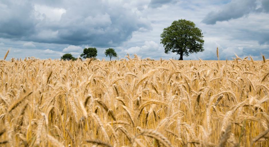 Czy uprawa zbóż paszowych daje w Polsce zarobić?