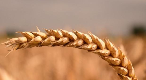 Wzrosty cen zbóż raczej ograniczone