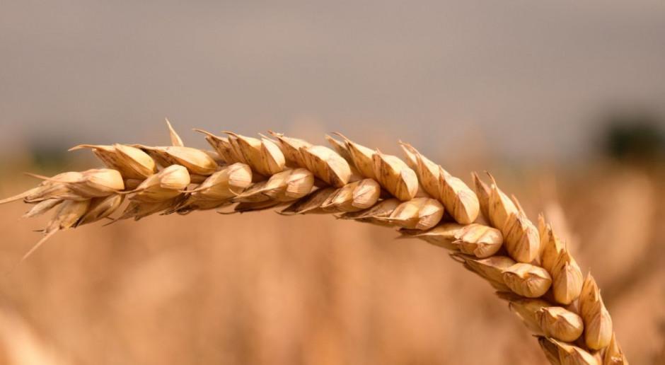 Perspektywy dalszego wzrostu cen zbóż są już ograniczone
