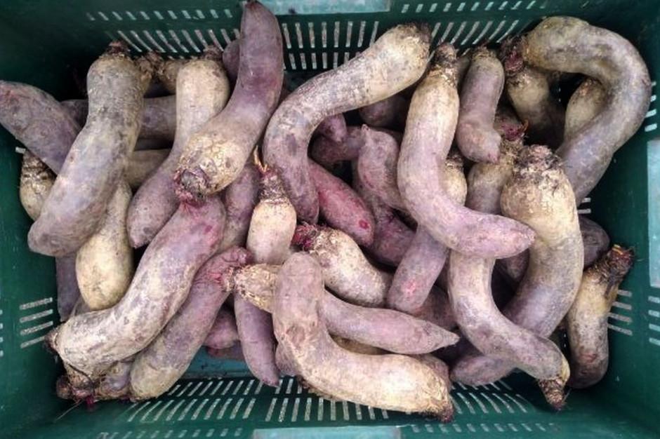 Rolnik nie może sprzedać wyprodukowanych warzyw z powodu ich kształtu, Foto: MM