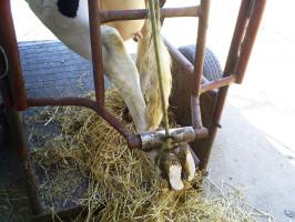 Szczególne znaczenie wdbałości odobrostan idługowieczność krów ma profilaktyka