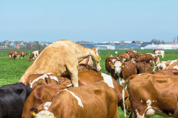 Zarządzanie rozrodem w stadzie bydła mlecznego