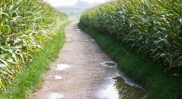 Kukurydza kiszonkowa w badaniach rozpoznawczych 2020 r.