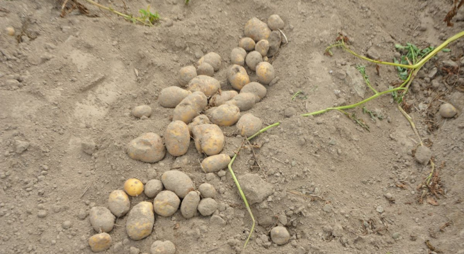 Prognozowana niższa powierzchnia uprawy ziemniaka w 2021 r.