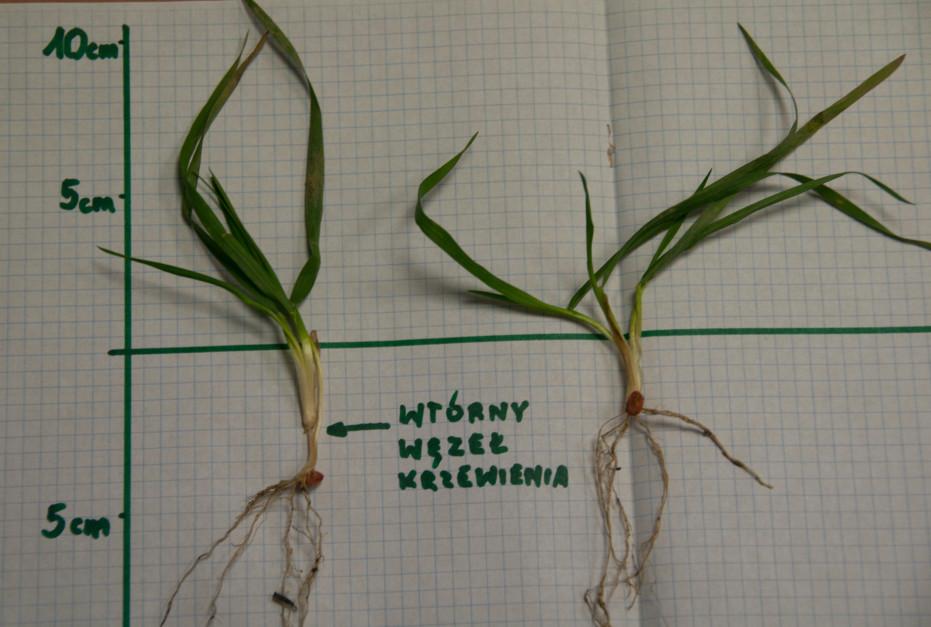 """Pszenica ozima też nie toleruje zbyt głębokiego siewu. Te rośliny wyrosły na ciężkiej madzie wiślanej. Roślina po lewej wyrastała z 4 cm i """"uciekła"""" z węzłem krzewienia na 2 cm. Powodem były deszcze. Woda wyparła powietrze i korzeniom zaczęło brakować tlenu w glebie. Roślina po prawej została wykopana na ubitym kołami uwrociu, na którym redlica siewnika posuwała się płycej co tej jesieni okazało się najodpowiedniejszą głębokością siewu pszenicy na tym polu"""
