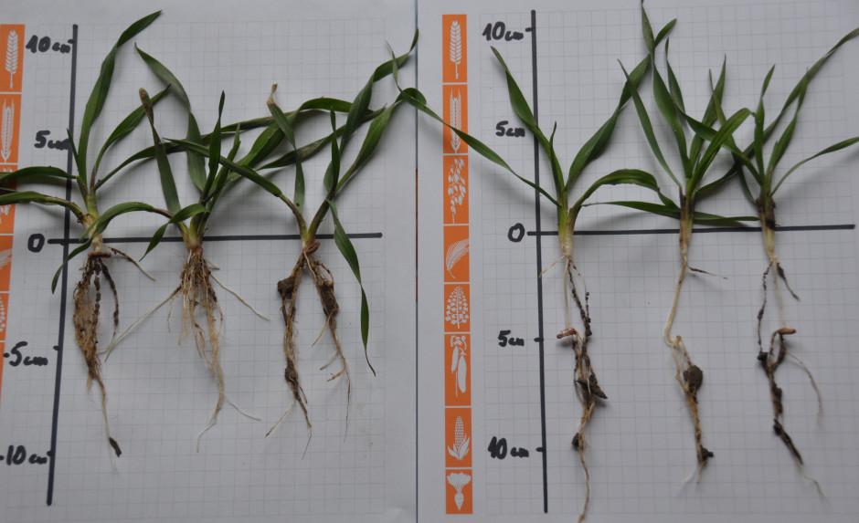 Zdjęcie z doświadczenia nad żytem dotyczącego wpływu głębokości siewu na rozwój roślin. Uwagę zwraca przede wszystkim wielkość systemu korzeniowego roślin posianych poprawnie (po lewej), w stosunku do zasianych zbyt głęboko (po prawej) które wytworzyły wtórny węzeł krzewienia poświęcając na to znaczna ilość zapasów z ziarniaka. Wpłynęło to bardzo negatywnie na wielkość systemu korzeniowego