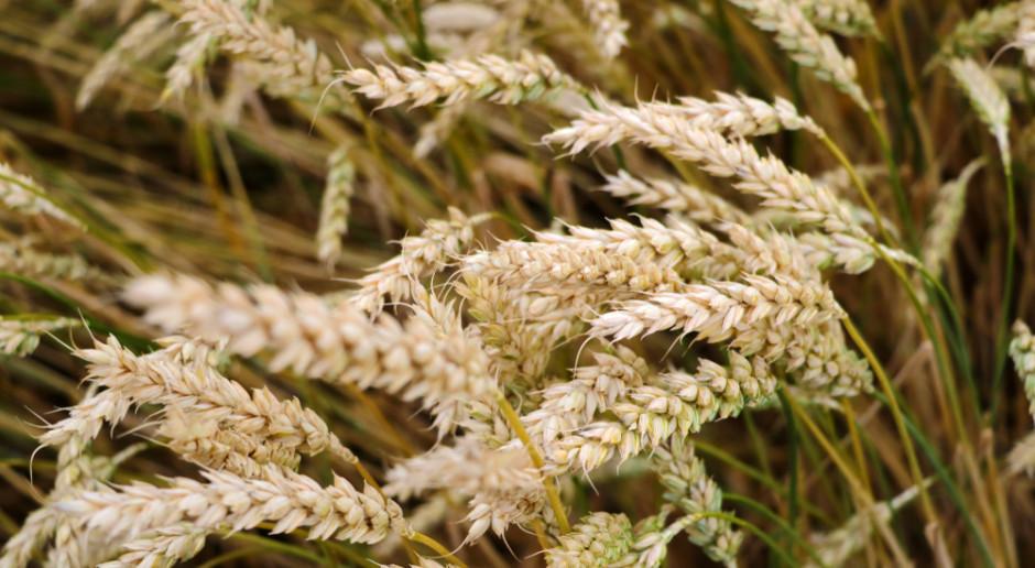 Ceny pszenicy blisko niedawnych szczytów notowań