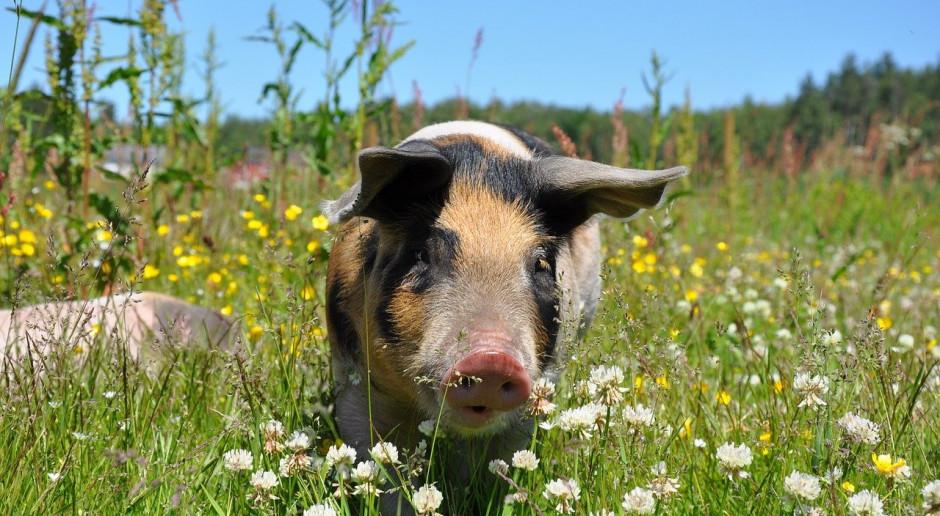 Świnie ekologiczne - bardzo wysokie ceny, mikroskopijny rynek