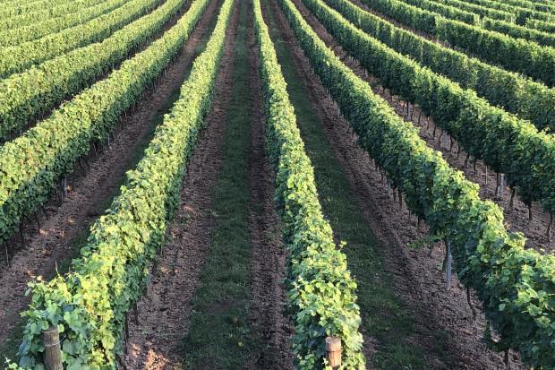 Po co winiarzowi biedronki? - amerykański winiarz zdradza sekret