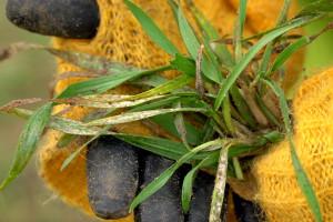 Chore pszenżyto na zakwaszonej glebie