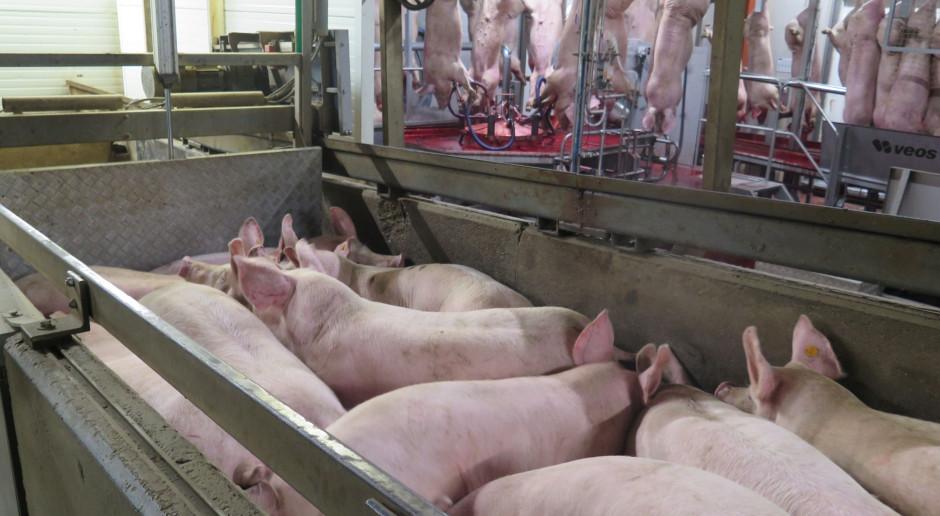 Hiszpania nadrobiła straty Niemiec w eksporcie wieprzowiny do Chin