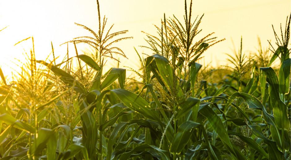 Amerykańska kukurydza najdroższa od 7 lat