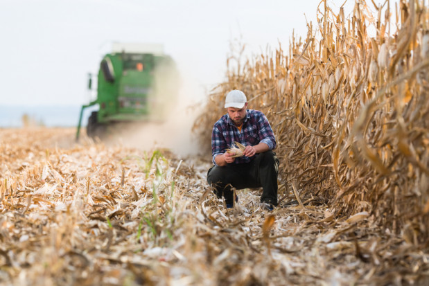 Odmiany kukurydzy ziarnowej polecane przezfirmy