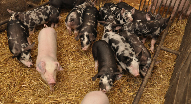 Działania niezbędne do ochrony krajowej hodowli i produkcji świń