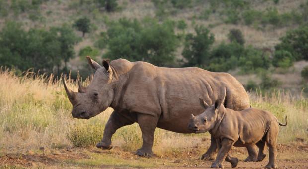 We wrocławskim zoo po raz pierwszy w historii urodził się nosorożec indyjski