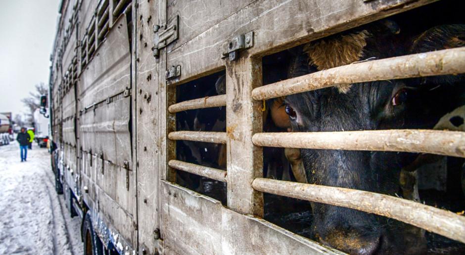 Niemcy chcą utrzymania transportu zwierząt do krajów trzecich