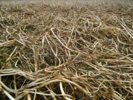 Poplony pod rośliny jare są wysiewane wgospodarstwie od zawsze. Chroni on glebę przed erozją wodną izapobiega wypłukiwaniu zniej składników pokarmowych.