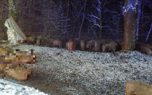 35 sztuk świń zginęło wskutek kraksy. Strażacy zabezpieczyli ocalałe z wypadku zwierzęta.