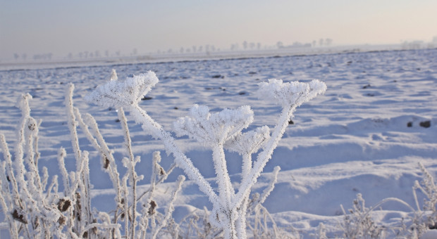 Śnieg chroni oziminy – gdzie mróz był największy?