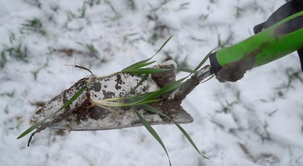Pszenica po kukurydzy - na co zwrócić uwagę na wiosnę