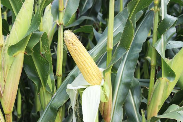 Energia z ziarna kukurydzy