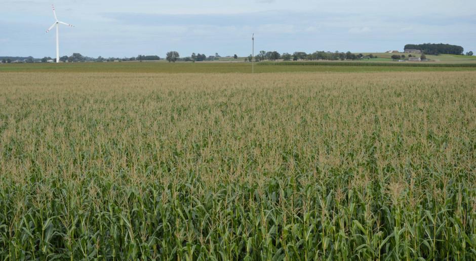 Kukurydza na biogaz