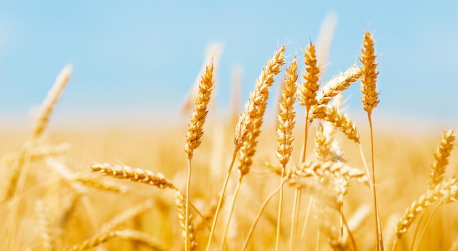 Korekta spadkowa na rynku zbóż