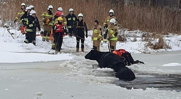 Pod krową z cielakiem zarwał się lód
