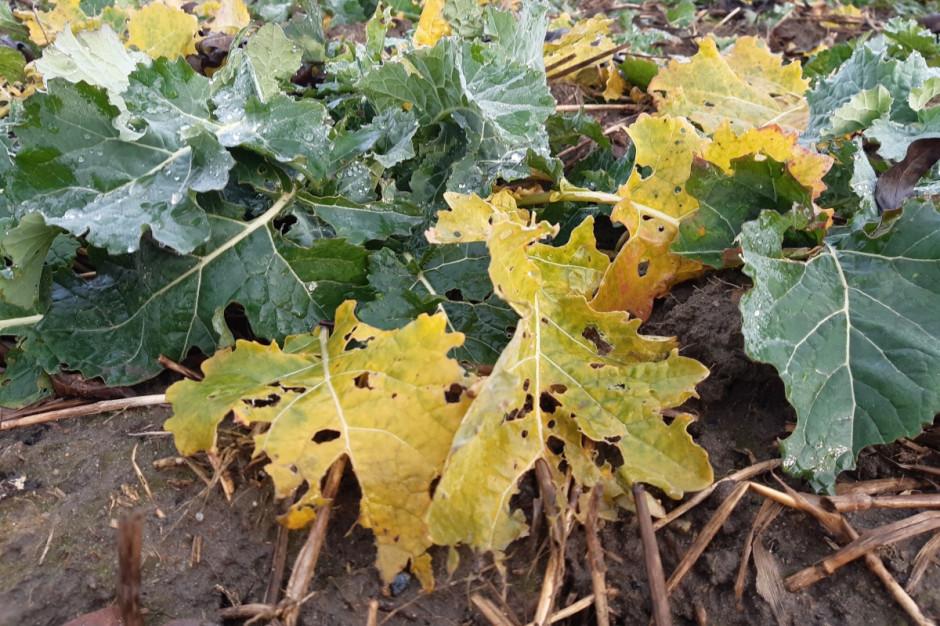 Na wielu plantacjach notuje się objawy deficytu azotu, najstarszej liście są pożółkłe z objawami suchej zgnilizny kapustnych. Są widoczne także uszkodzenia wyrządzane przez szkodniki Fot. A. Kobus
