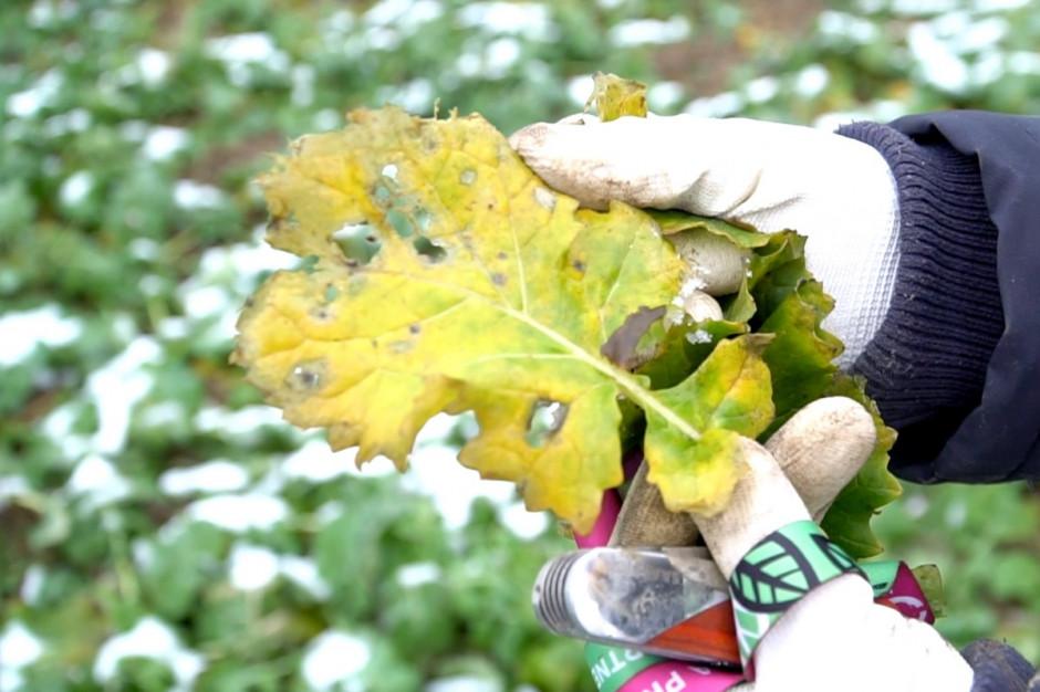 Na wielu plantacjach w tym regionie widoczne są objawy suchej zgnilizny kapustnych. Dotyczy to głównie najstarszych liści. Fot. A. Kobus