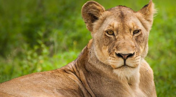 Zoo w Amsterdamie w wyniku pandemii wysyła lwy do Francji
