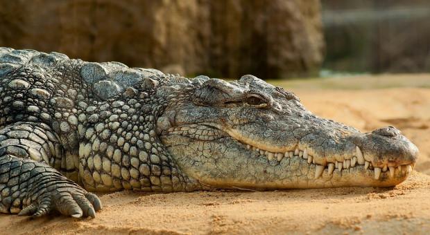 Mężczyzna zaatakowany przez krokodyla otworzył jego pysk gołymi rękami