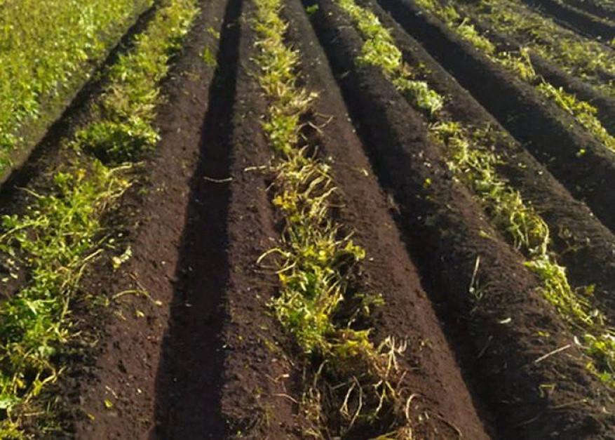Tak wygląda plantacja po wykonaniu zabiegu mechanicznego niszczenia łęcin. Zdjęcie: MSR Plant Technology