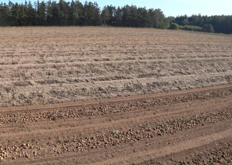 Zbiór na plantacjach gdzie przeprowadzono zabieg Crown Crusher wykonuje się przy użyciu standardowych maszyn. Zdjęcie: MSR Plant Technology