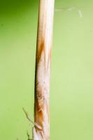 Wminionym stuleciu ostra plamistość oczkowa była notowana głównie wuprawach pszenicy. Przez ostatnie 20lat obserwuje się wyraźny wzrost znaczenia tego grzyba ipasożytowanie nawielu gatunkach roślin zrodziny traw, włączając żyto, pszenżyto, jęczmień iowies